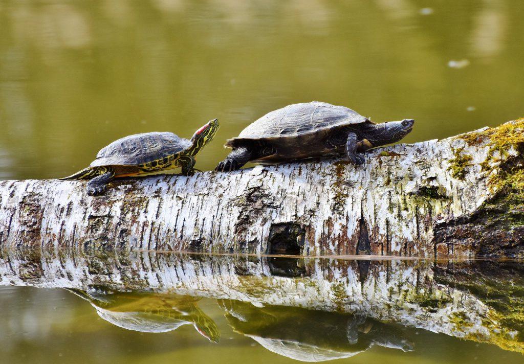 glückssymbol-china-schildkröte